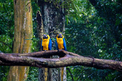 Blue and Gold Macaws at Parque das Aves - Foz do Iguacu, Parana, Brazil. Blue and Gold Macaws at Parque das Aves in Foz do Iguacu, Parana, Brazil stock image