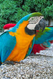 Blue-gold and red colored macaw parrot stock images