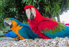 Blue-gold and red colored macaw parrots stock image