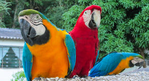 Blue-gold and red macaw parrot royalty free stock image