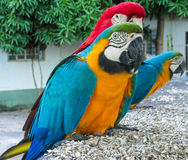 Blue-gold yellow feathers big macaw parrot Royalty Free Stock Photos
