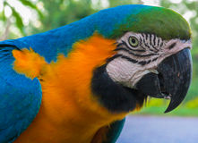 Blue-gold yellow feathers big macaw parrot Royalty Free Stock Photography