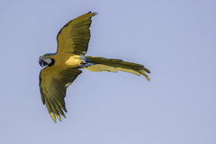 Blue and gold (yellow) macaw in flight. Blue and gold (yellow) macaw (Ara ararauna) in flight against blue sky Royalty Free Stock Photography