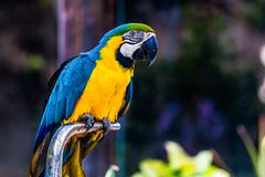 Blue and Gold or yellow Macaw parrot. Siting on metal perch in zoo Royalty Free Stock Photo