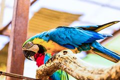 Blue and Gold or yellow Macaw parrot. Siting on wooden perch in zoo Stock Photo