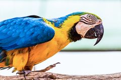 Blue and Gold or yellow Macaw parrot. Siting on wooden perch in zoo Royalty Free Stock Photography