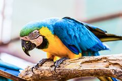 Blue and Gold or yellow Macaw parrot Royalty Free Stock Image