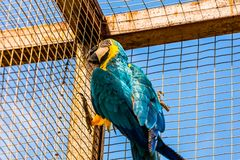 Blue and Gold or yellow Macaw parrot Stock Image