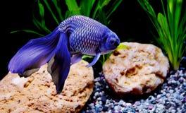 Blue goldfish. royalty free stock images