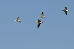 Blue Goose Flying with Snow Geese in a Blue Sky Royalty Free Stock Photography