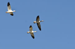 Blue Goose Flying with Snow Geese in a Blue Sky Royalty Free Stock Photos