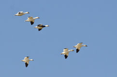 Blue Goose Flying with Snow Geese in a Blue Sky Stock Photos