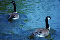 Blue Goose. Two Geese floating on a blue river Stock Image