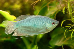 Blue gourami Stock Photography