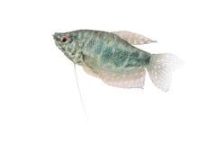 Blue Gourami aquarium fish isolated on white Royalty Free Stock Photos