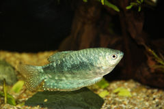 Blue gourami Royalty Free Stock Photography
