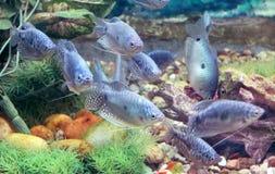 Blue gourami fishes Royalty Free Stock Photo