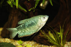 Blue gourami Stock Images