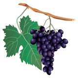 Blue grape Stock Image