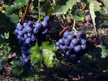 Blue grape. In vineyard on Fruska Gora Mountain, Serbia royalty free stock photo