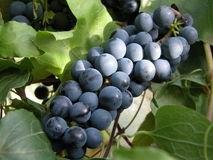 Blue grape. Grape in the sun Royalty Free Stock Images