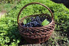 Blue grape in basket Royalty Free Stock Photography