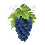 Blue grape Royalty Free Stock Image