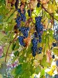 Blue grape branch Royalty Free Stock Photos