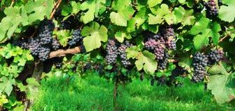 Blue grape branchs closeup Stock Photography