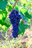 Blue grape bunch Royalty Free Stock Photo
