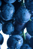 Blue grape cluster Royalty Free Stock Images