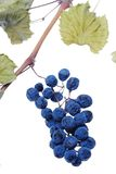 Blue grape cluster as raisin Royalty Free Stock Images