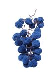 Blue grape cluster as raisin Royalty Free Stock Photo
