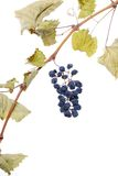 Blue grape cluster as raisin. Closeup royalty free stock image