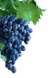 Blue grape cluster with leaves Stock Photo