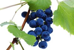 Blue grape cluster with leaves. Izolated royalty free stock images