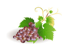Blue grape cluster with leaves. vector Stock Images