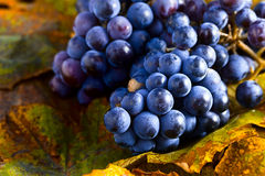 Blue grape Royalty Free Stock Photography