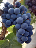 Blue grape Stock Images