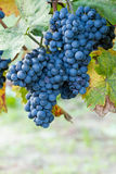 Blue grape fruit Stock Images