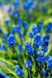 Blue grape hyacinth flowers Royalty Free Stock Photo