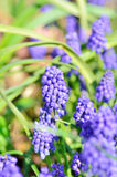 Blue grape hyacinth (Muscari armeniacum). Royalty Free Stock Photography