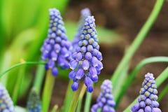 Blue grape hyacinth, Muscari Armeniacum flowers Royalty Free Stock Images