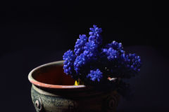 Blue Grape Hyacinth, Muscari armeniacum flowers in a green clay Royalty Free Stock Images