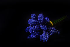 Blue Grape Hyacinth, Muscari armeniacum flowers with strong cont Stock Photo