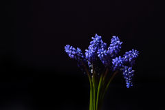 Blue Grape Hyacinth, Muscari armeniacum flowers with strong cont Royalty Free Stock Photos