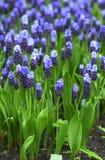 Blue grape hyacinth Stock Image