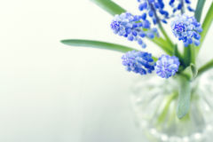 Blue grape hyacinth spring flowers. Bouquet of blue grape hyacinth spring flowers on green hazy background Royalty Free Stock Photos
