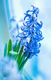 Blue grape hyacinth spring flowers on light background Stock Image