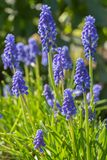 Blue grape hyacinth Stock Photography
